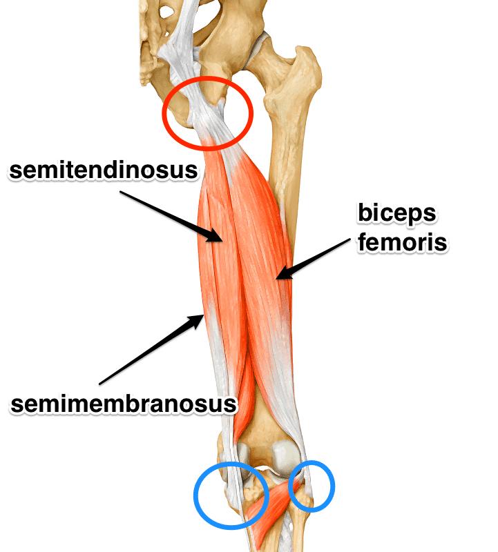 hamstring-yoga-anatomy